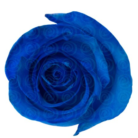Rose 'Tinted Blue' Rosa
