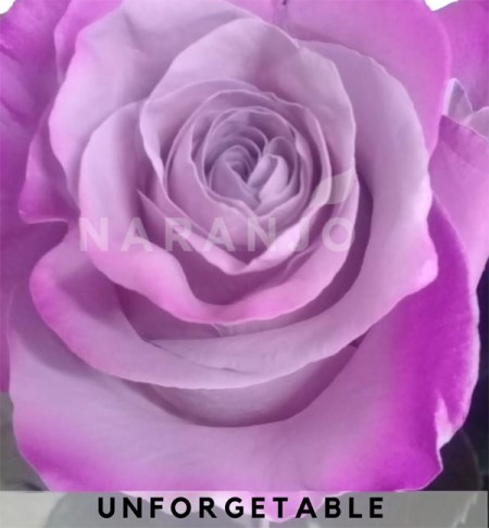 Rose 'Tinted Unforgetable' Rosa