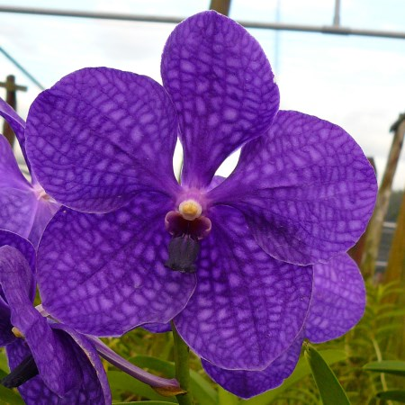 Orchid 'Vanda New Blue' Orchidaceae