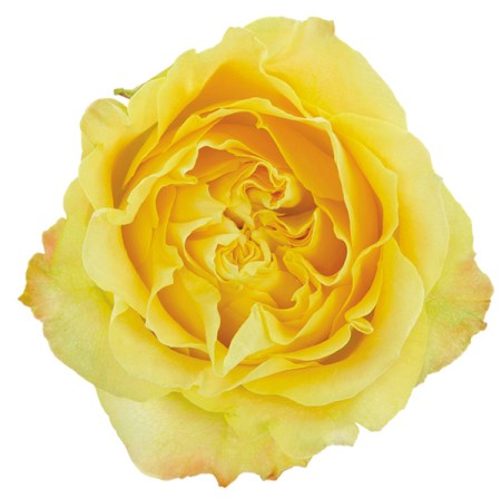 Rose 'Yellow finess ' Rosa