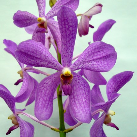 Orchid 'Mokara Happy Beauty' Orchidaceae