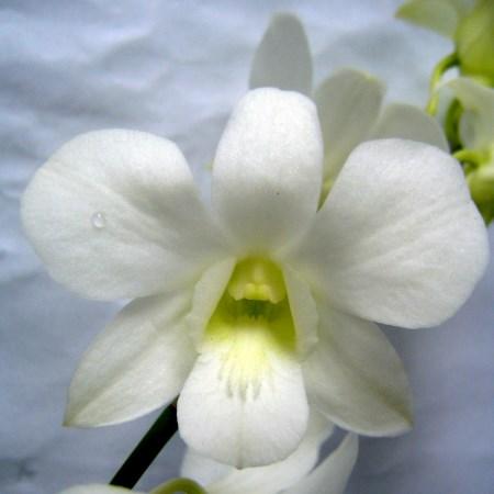 Orchid 'Dendrobium Pure White' Orchidaceae. Cut Flowers ...