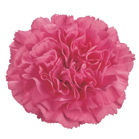 Carnation 'Agnese' Dianthus
