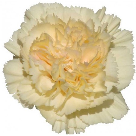 Carnation 'Banana' Dianthus