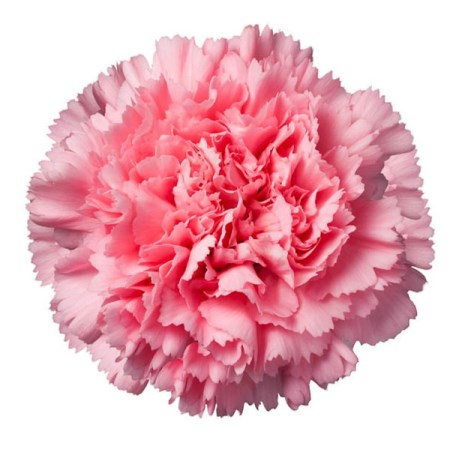 Carnation 'Betsy' Dianthus
