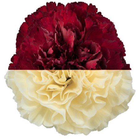 Carnation 'Burg Cream' Dianthus