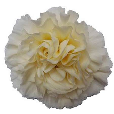 Carnation 'Cream Giole' Dianthus