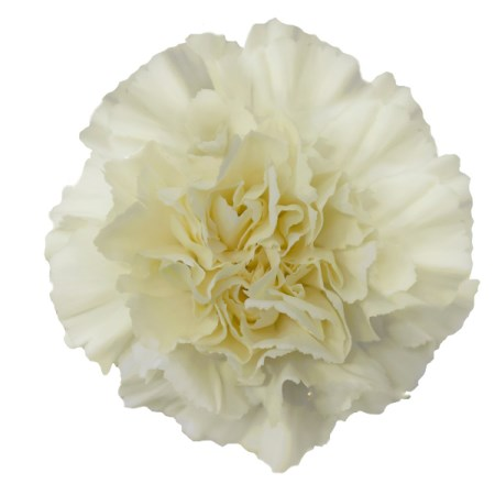 Carnation 'Cream' Dianthus