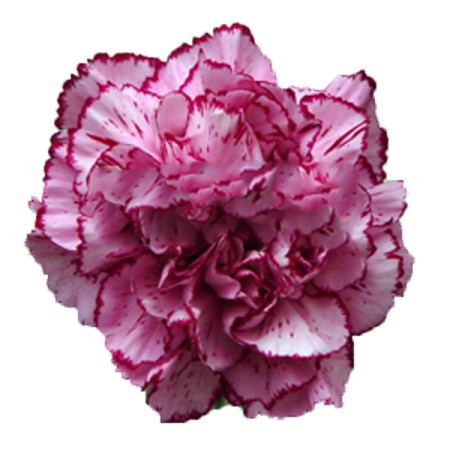 Carnation 'Dark Rendezvous' Dianthus