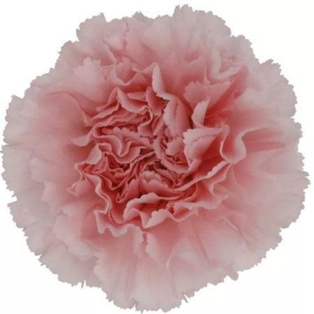Carnation 'Doncel' Dianthus