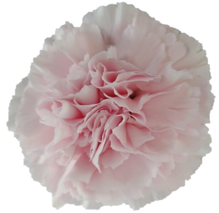 Carnation 'Faith' Dianthus
