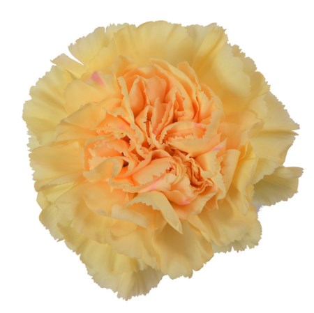 Carnation 'Gold' Dianthus