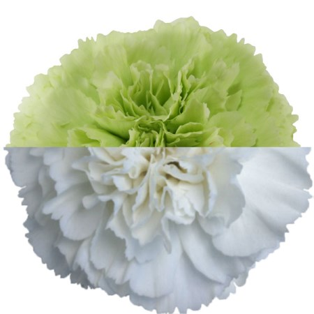 Carnation 'green White' Dianthus