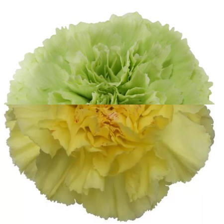 Carnation 'Green Yellow' Dianthus