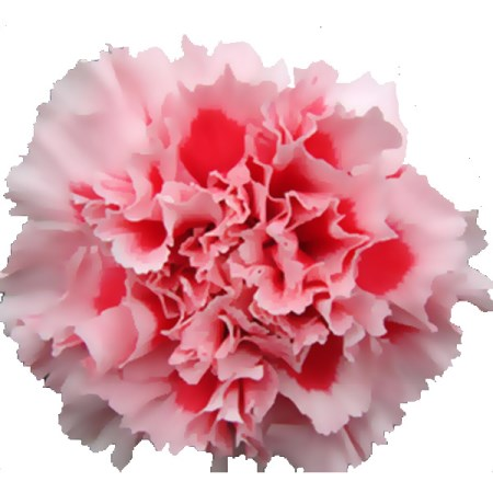 Carnation 'Mabel' Dianthus
