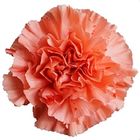 Carnation 'Orange flame' Dianthus