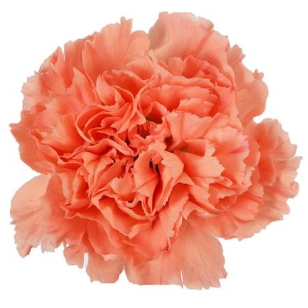 Carnation 'Orange hermes' Dianthus