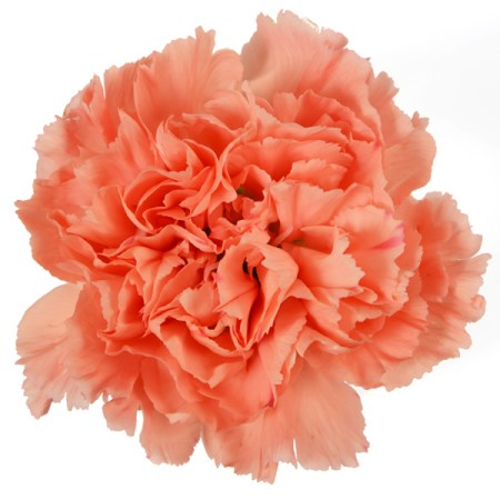 Carnation 'Orange' Dianthus
