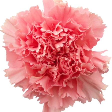 Carnation 'Paola' Dianthus