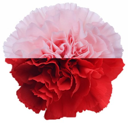 Carnation 'Pink Red' Dianthus