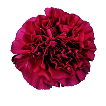 Carnation 'Purple Emporer' Dianthus