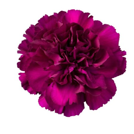 Carnation 'Purple Pacal' Dianthus