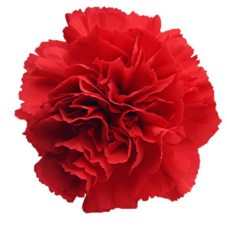 Carnation 'Red ' Dianthus
