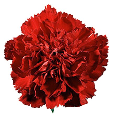 Carnation 'Scania' Dianthus