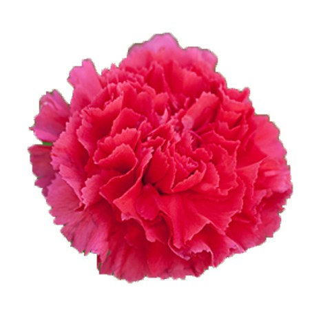 Carnation 'tabor' Dianthus