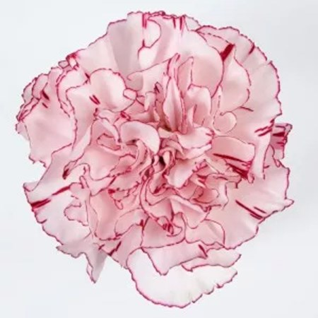 Carnation 'Tiepolo' Dianthus