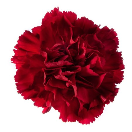 Carnation 'Vino Rosso' Dianthus