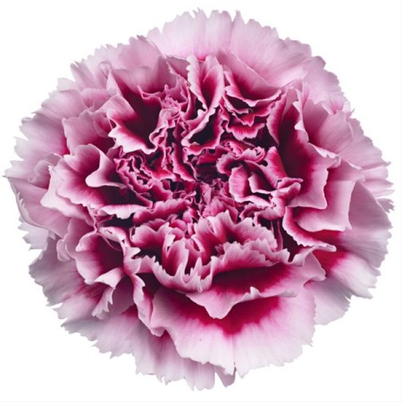 Carnation 'Wellington' Dianthus