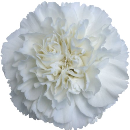 Carnation 'White ' Dianthus