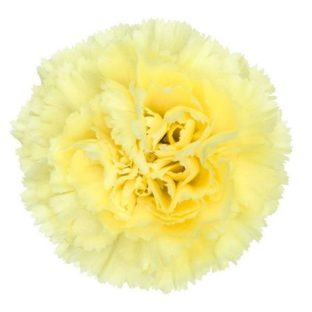 Carnation 'Yellow' Dianthus