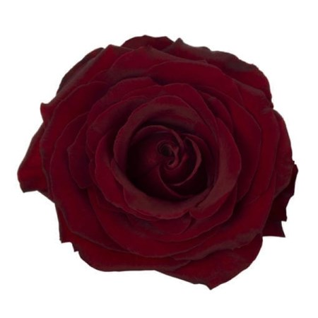 Rose 'Black Pearl' Rosa