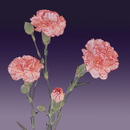 Spray Carnation 'Mariki' Dianthus