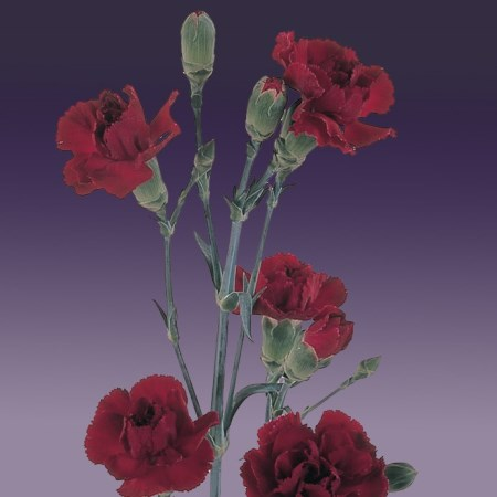 Spray Carnation 'Oz' Dianthus