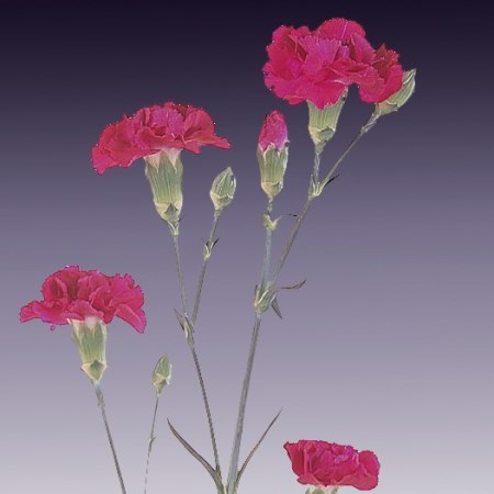 Spray Carnation 'Ruty' Dianthus