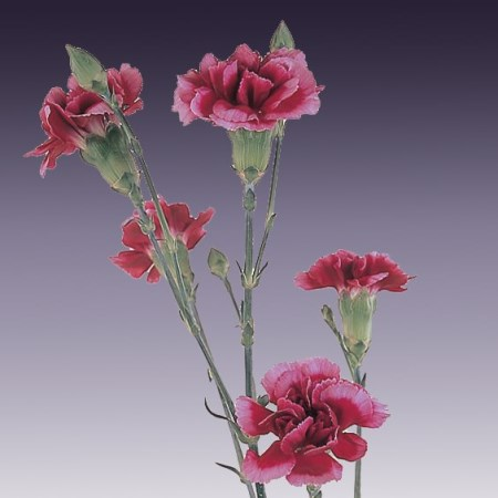Spray Carnation 'Scarlet King' Dianthus