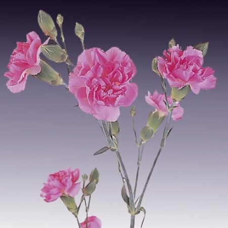 Spray Carnation 'Cecilia' Dianthus