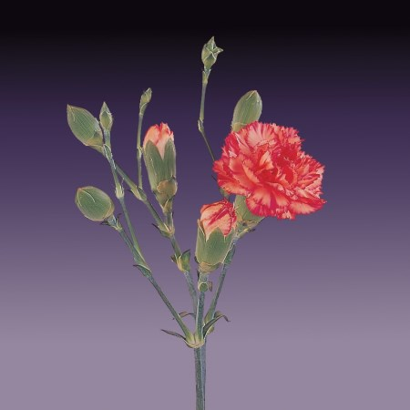Spray Carnation 'Fiorella' Dianthus