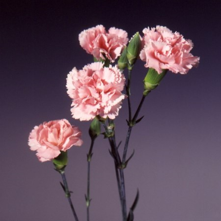 Spray Carnation 'Barbara' Dianthus