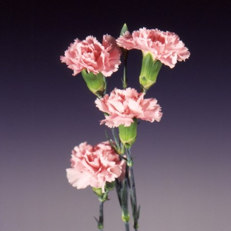 Spray Carnation 'Eveline' Dianthus