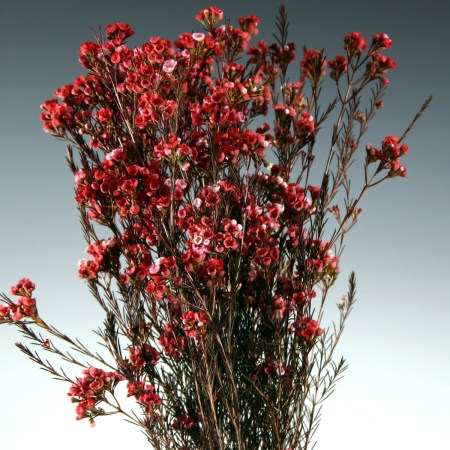 Wax Flower 'red bunch' Chamelaucium uncinatum