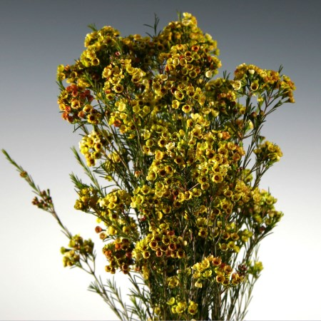 Wax Flower 'Dyed Yellow/Green' Chamelaucium uncinatum