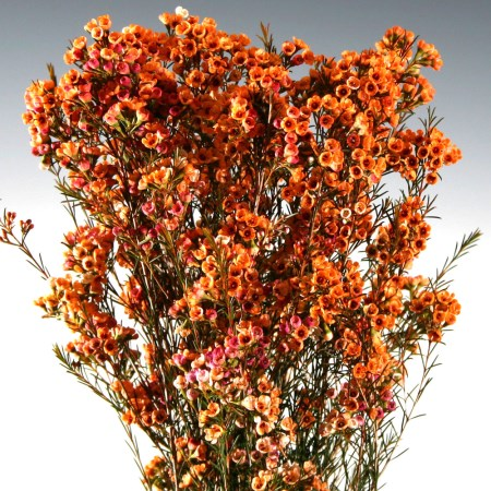 Wax Flower 'Dyed orange' Chamelaucium uncinatum