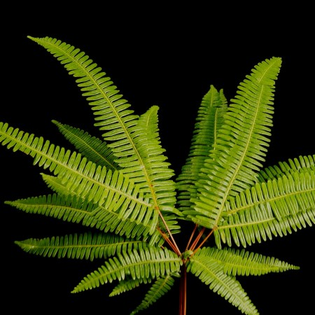Broadleaf Umbrella Fern Sticherus