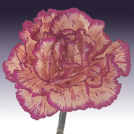 Carnation 'Staccato' Dianthus
