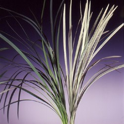 China Grass 'green and Variegated' Miscanthus sinensis