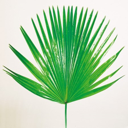 Chinese Fan Palm livistonia chinensis